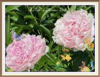 A  Pair of Peonies Pink