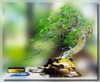 Pemphis acidula bonsai