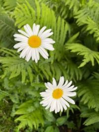 Audry's Daisies