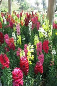 Beautifully Coloured Snapdragons.