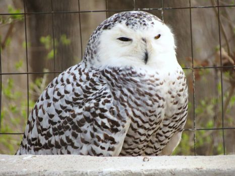 Snowy Owl at World Bird Sanctuary