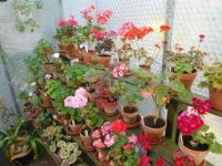 A part of my greenhouse, with geraniums