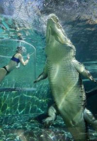 Let's contemplate the sheer size of this saltwater crocodile.