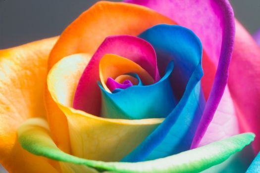 Ranbow rose