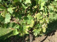 19 09 27 Grapes_Chapel Down_IMG_5231