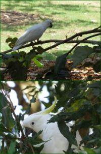 Cockatoos at the Sherwood Arboretum.
