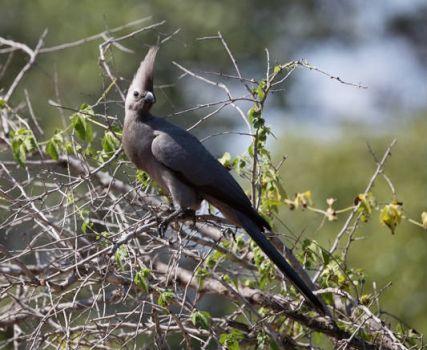 South African Grey Lourie aka Go-Away Bird