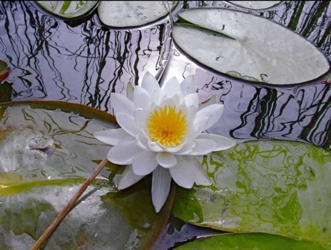 water lily  flower  in pond