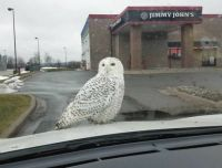 snowy owl, not my photo