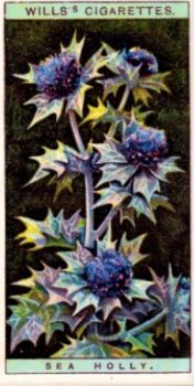 Sea Holly - Mills's Cigarette Card from the 1920s.