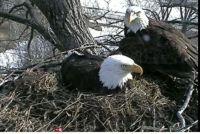 Eagle Pair on Nest