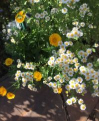 Calendula and feverfew