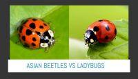 asian beetles