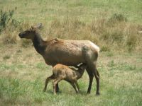 elk and baby