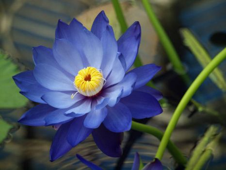 Water Lily  'Blue Saphire'