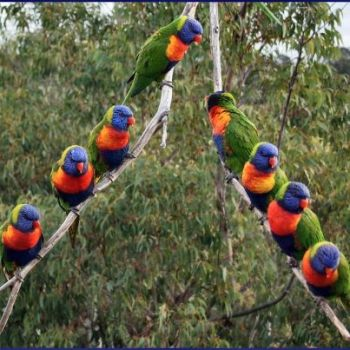 lorikeet formation