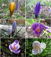 Various Crocuses in my garden .....