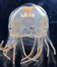 Those Eyes! - Jellyfish
