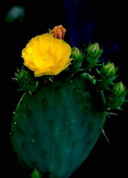 At Last... A Cactus Blooms in Central Virginia, June 2021