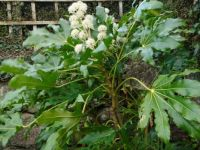 7 Foot fatsia in flower
