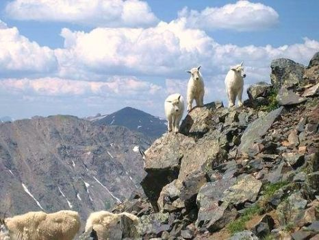 MOUNTAIN GOATS - ROCKY MT. NATL. PARK
