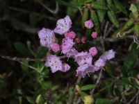 Mountain Laurel from Maine