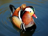 colourful duck