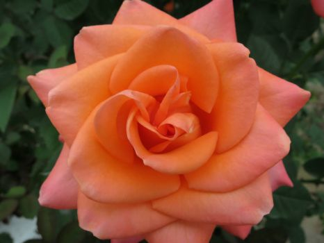 Coral rose blossom