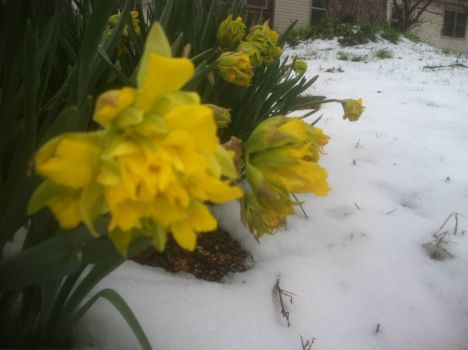 jonquils meet winter