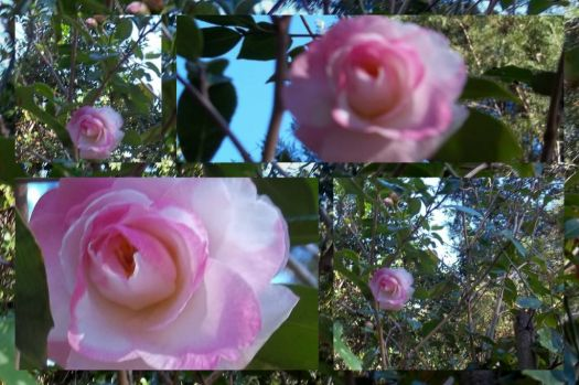 The Camellias Are In Bloom !!