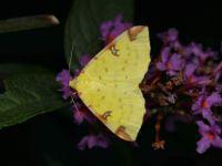 brimstone moth - Opisthograptis luteolata (Hagedoornvlinder)