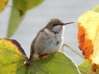Ruby-throated Hummingbird, immature male