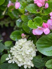 Hydranga and Begonia
