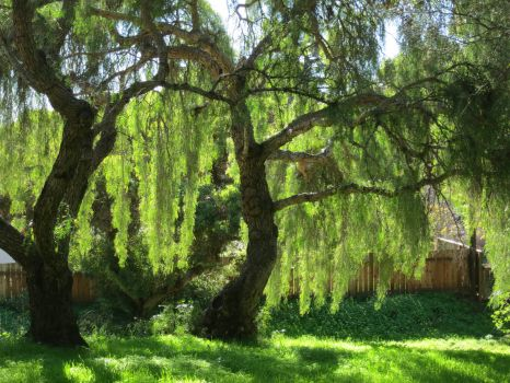 Two Weeping willows