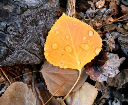 Aspen Leaf with Rain Drops