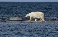EDJ Polar Bear