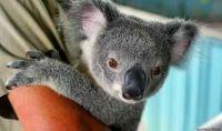 Another cute koala baby