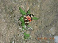 Srbski leptir