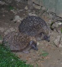 The Hedgehogs are Back!