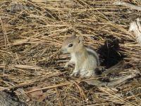 Baby Golden Mantle Squirrel