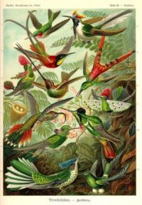 Hummingbirds, from: Ernst Haeckel, Kunstformen der Natur, 1899-1904. (Trochilidae,  Tafel 99)