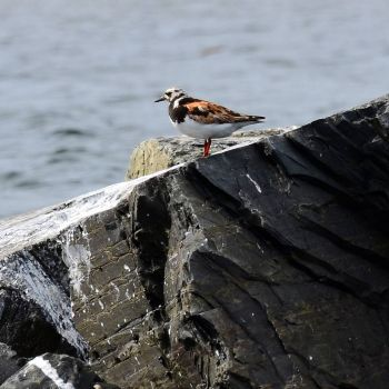 Ruddy Turnstone, Harbour Grace, NL