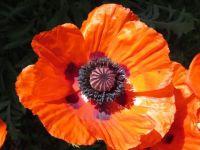 Red Poppy in Sun