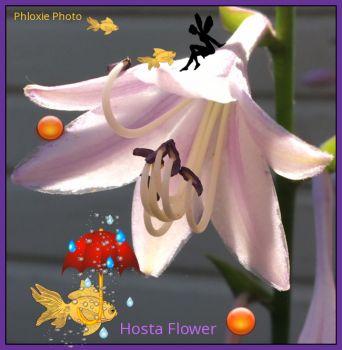 Hosta Flower