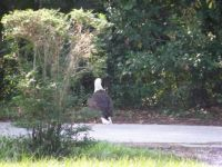 THEME:  Birds  American Bald Eagle adult - he chased away some buzzards and was enjoying the roadkill in front of my house