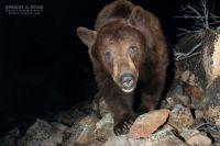 Black bear out of hibernation