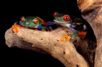 Best Buddies, Red-Eyed Tree Frogs