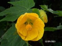 Yellow Abutilon