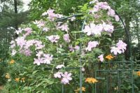 OUT OF CONTROL CLEMATIS