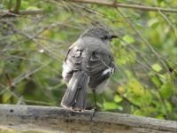 This mockingbird did jump in the bird bath but then got out and turned his back to me.